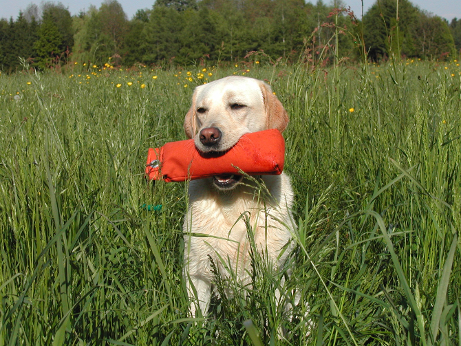 yellow labrador retriever 742846